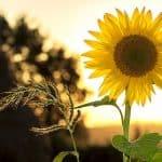 sunflower-sun-summer-yellow-nature-green-energy