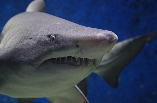 shark-animal-hazard-teeth-fish