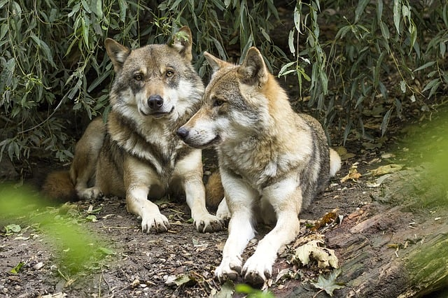 wolf-canis-lupus-european-wolf