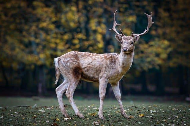 nature-roe-deer-forest-fallow-deer