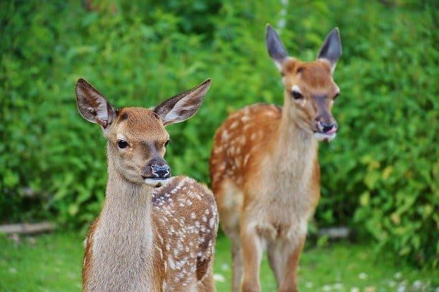 roe-deer-kitz-wild-forest-red-deer