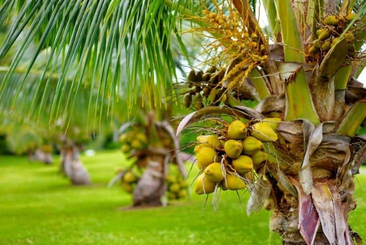 Malayan Yellow Dwarf Coconuts