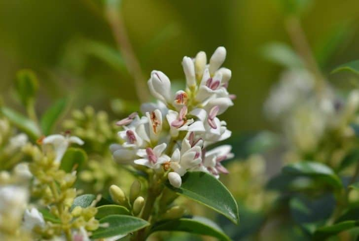 Privets plant