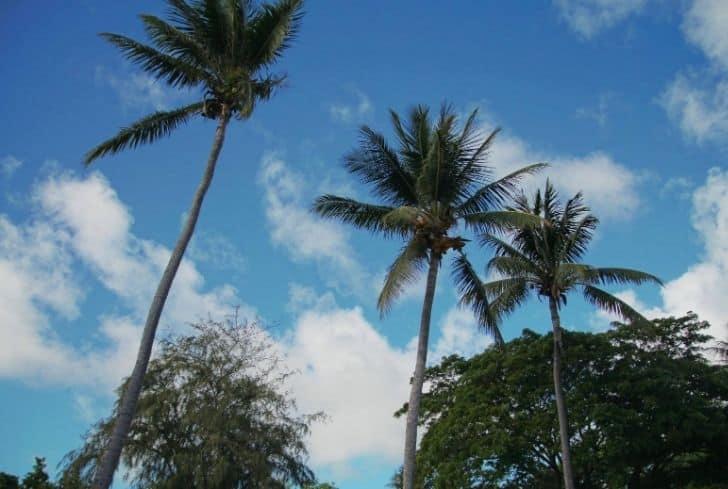 tall-coconut-tree