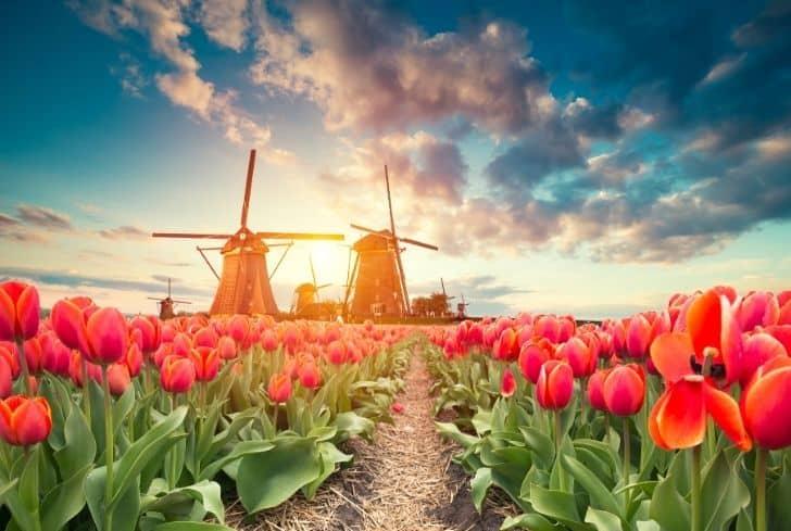 tulips-alongside-windmill