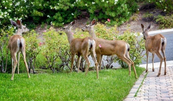 deer-eating-flower-in-garden