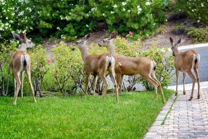 deer-eating-flower-in-garden