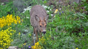 deer-eating-flowers